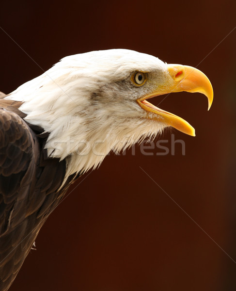 Chauve aigle portrait oeil nature fond Photo stock © scooperdigital