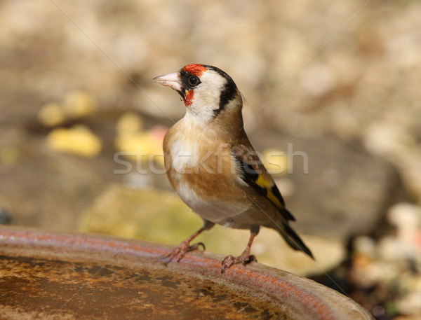 Goldfinch Stock photo © scooperdigital