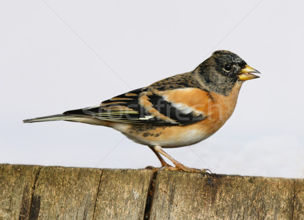 Stock photo: Brambling