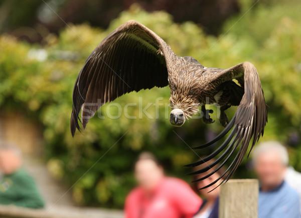 Griffon Vulture Stock photo © scooperdigital