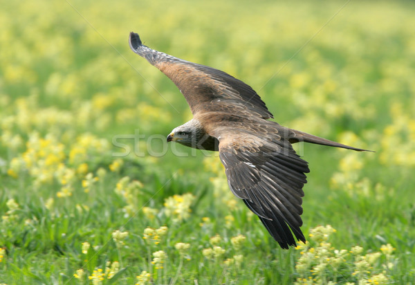 Stock photo: Black Kite