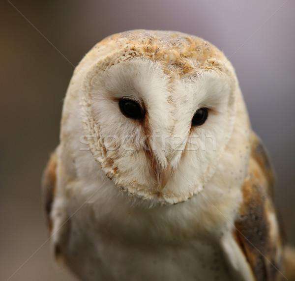 Barn Owl Stock photo © scooperdigital