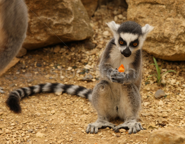 Ring Tailed Lemur  Stock photo © scooperdigital