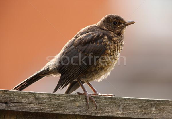 Mirlo retrato jóvenes ojo naranja aves Foto stock © scooperdigital