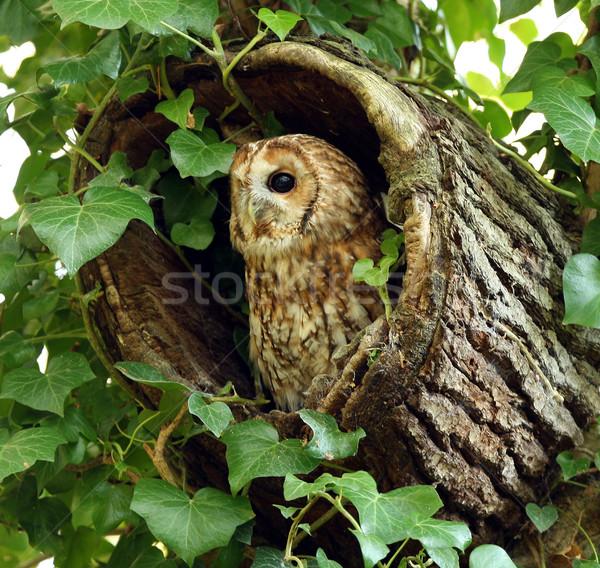 Stock photo: Tawny Owl