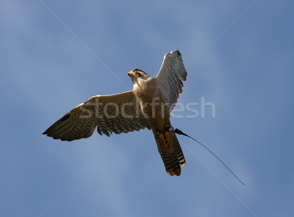 Peregrine Falcon Stock photo © scooperdigital