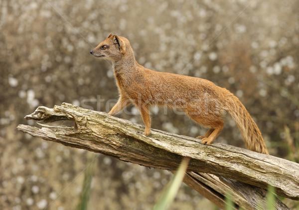 Geel portret gezicht haren afrika dier Stockfoto © scooperdigital