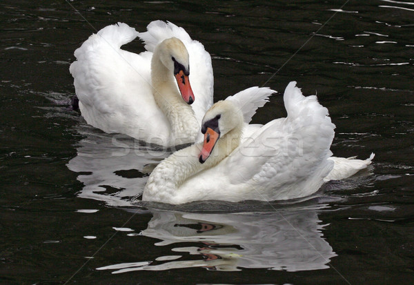Néma kettő toll tó madarak folyó Stock fotó © scooperdigital