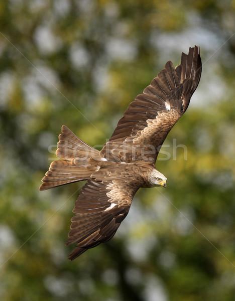 Siyah uçurtma uçuş yaz Afrika Stok fotoğraf © scooperdigital