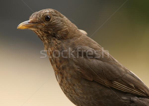 Karatavuk portre doğa yaz kuş erkek Stok fotoğraf © scooperdigital