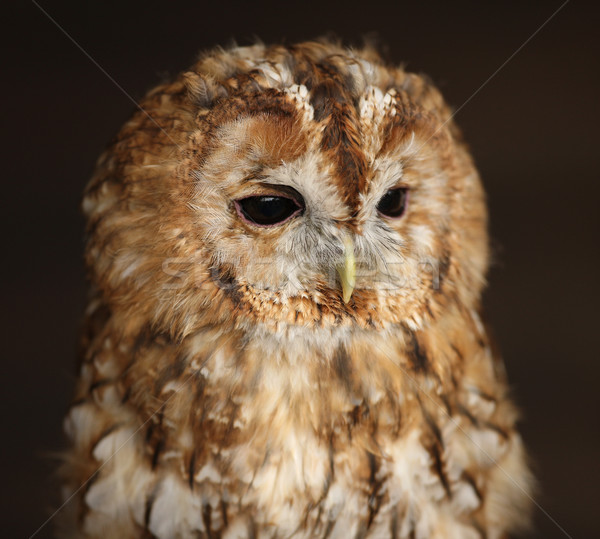 Tawny Owl Stock photo © scooperdigital