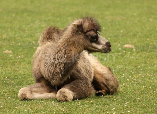 Camelo jovem boca Árabe nariz Foto stock © scooperdigital