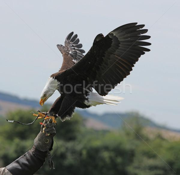 Bald Eagle Stock photo © scooperdigital