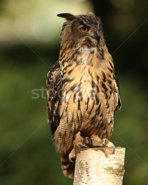 Eagle owl portrait arbre yeux orange aigle Photo stock © scooperdigital