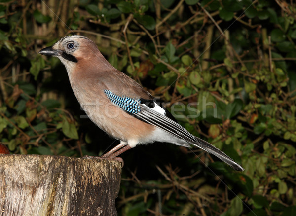 Jay garrulus glandarius Stock photo © scooperdigital