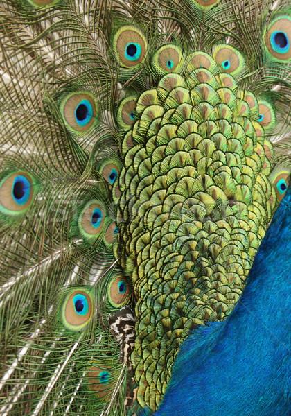 Pavão verde azul cabeça Foto stock © scooperdigital