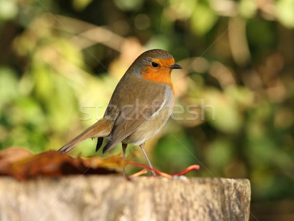 árvore jardim peito pássaro inverno Foto stock © scooperdigital