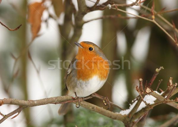 Hiver branche neige jardin orange oiseau Photo stock © scooperdigital