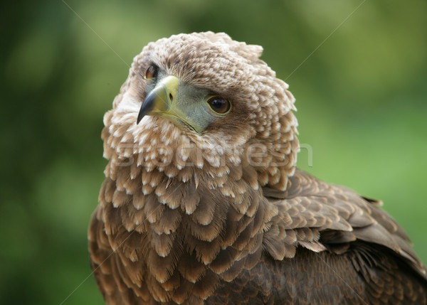 Bateleur Eagle Stock photo © scooperdigital