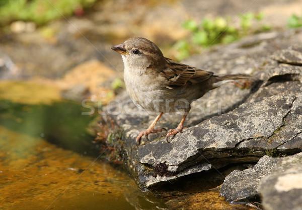House Sparrow Stock photo © scooperdigital
