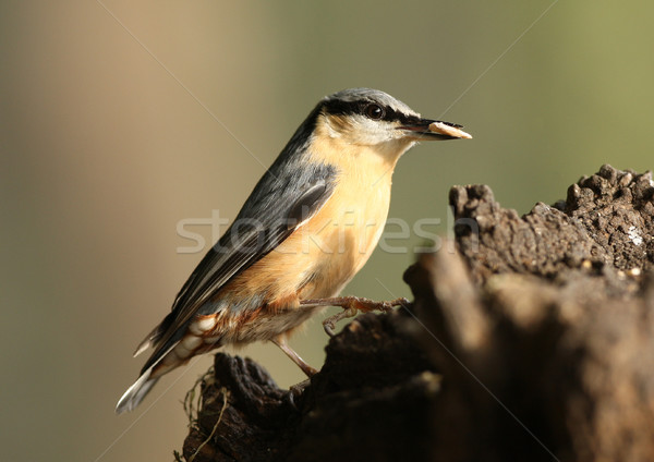 Nuthatch Stock photo © scooperdigital
