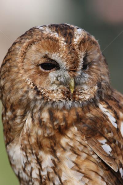 Chouette portrait oeil yeux nature oiseau Photo stock © scooperdigital