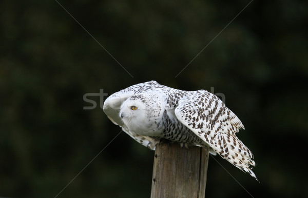 Snowy Owl Stock photo © scooperdigital