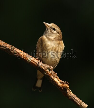 Brambling Stock photo © scooperdigital