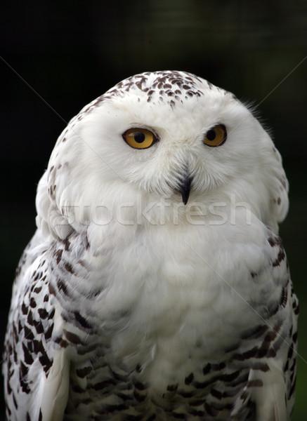Snowy Owl Stock photo © scooperdigital