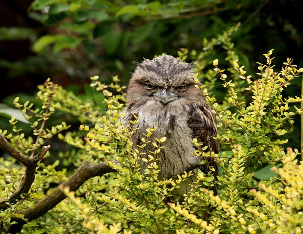 Tawny Frogmouth Owl Stock photo © scooperdigital