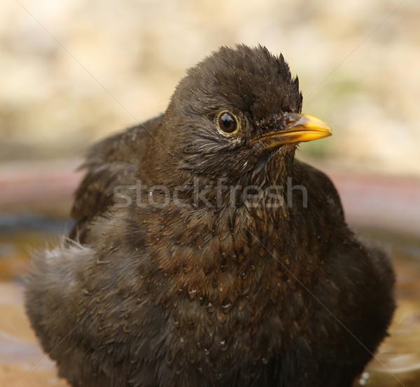 Melro molhado banho Foto stock © scooperdigital