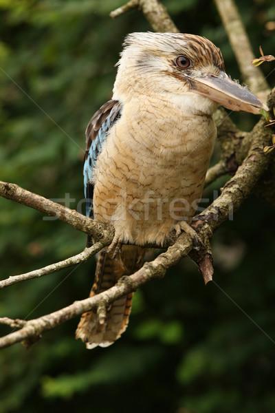Portrait oiseau branche Australie sauvage Photo stock © scooperdigital