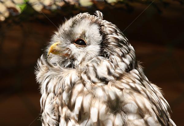 Western Screech Owl Stock photo © scooperdigital