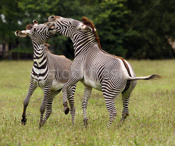 Zebra fighting Stock photo © scooperdigital
