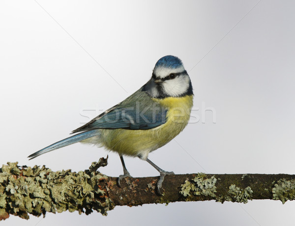Blue Tit Stock photo © scooperdigital
