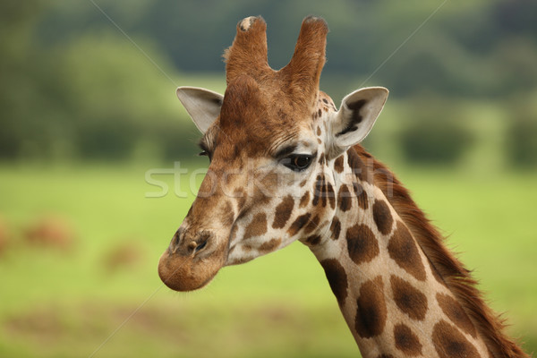Girafffe Stock photo © scooperdigital