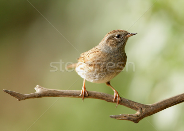 Dunnock Stock photo © scooperdigital