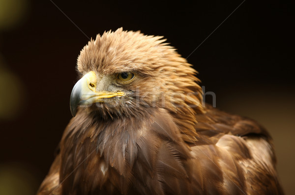 Or aigle portrait nature tête animaux Photo stock © scooperdigital