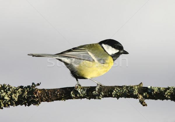Retrato teta jardim pássaro Foto stock © scooperdigital