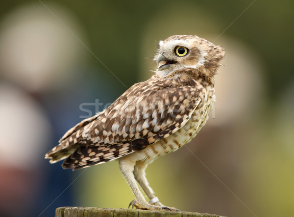 Burrowing Owl Stock photo © scooperdigital