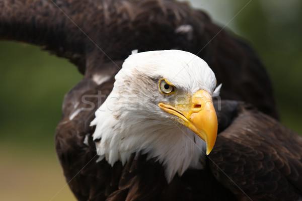 Foto stock: Careca · Águia · retrato · pássaro · preto · cabeça
