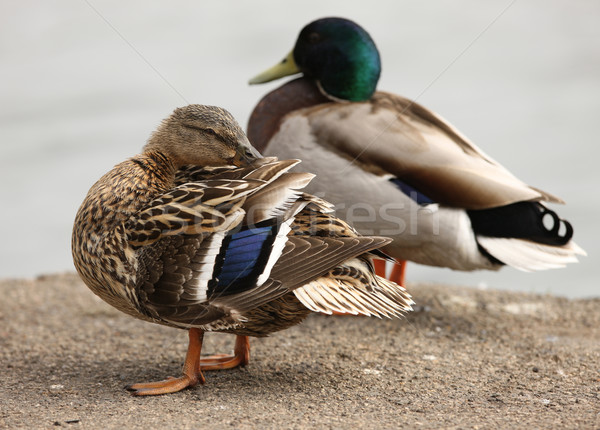Mallard Duck Stock photo © scooperdigital