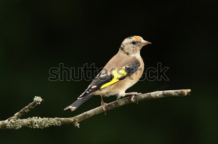 Young Goldfinch Stock photo © scooperdigital
