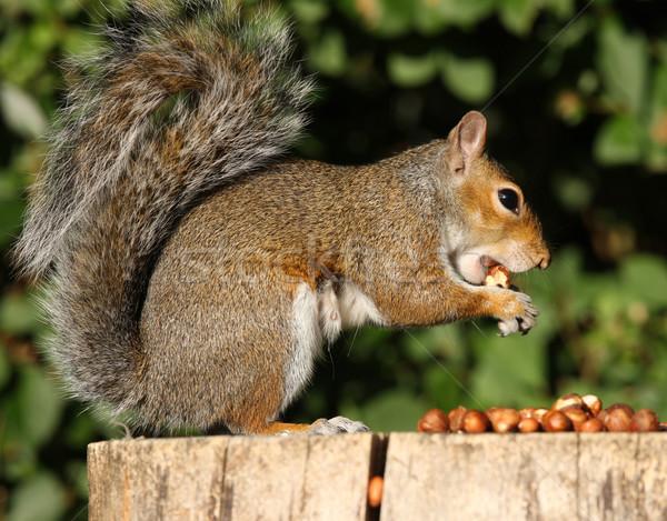 Grey Squirrel  Stock photo © scooperdigital