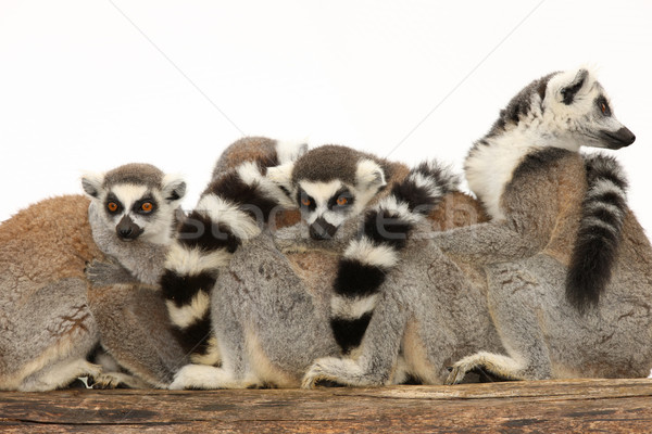 Ring Tailed Lemurs Stock photo © scooperdigital