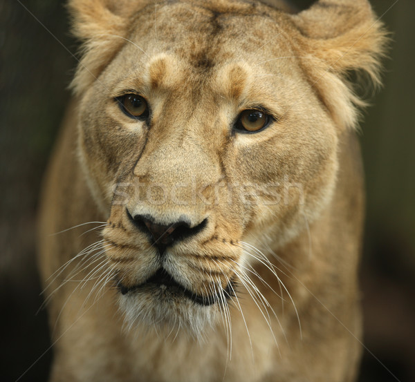 Asian Lioness Stock photo © scooperdigital