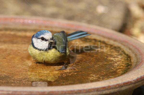 Bleu tit bain chaud été Photo stock © scooperdigital