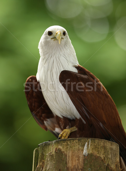Stock photo: Fish Eagle
