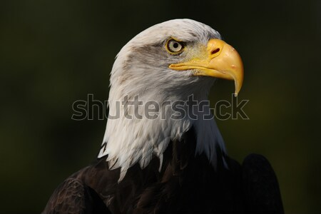 Bald Eagle Stock photo © scooperdigital
