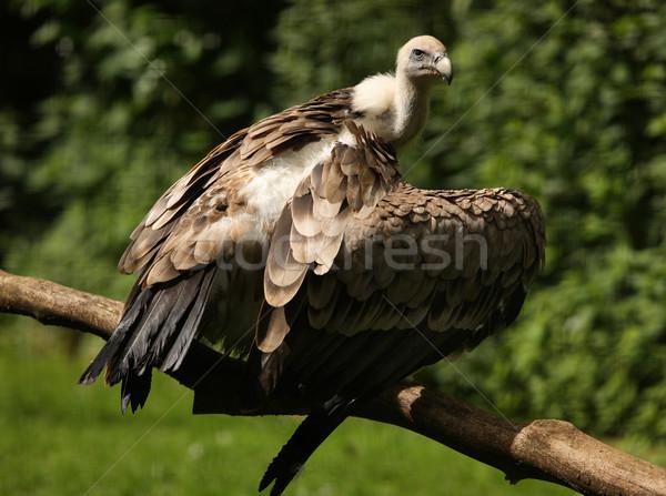 гриф портрет Flying клюв Сток-фото © scooperdigital
